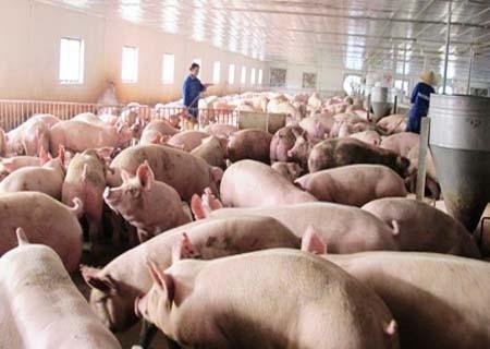Lập ĐTM cơ sở chăn nuôi heo